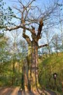 Památný strom severně od hradu Karlštejna.