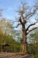 Památný strom starý asi 350 let.