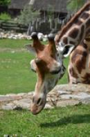 Detail žirafy.
