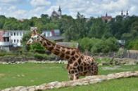 Žirafa s jihlavským panoramatem.