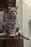 Kočka slaništní.