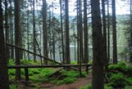 Pohled skrz kmeny stromů.