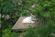 Bílý tygr, chlouba ZOO Liberec.