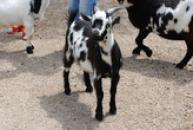 Kůzle kozy kamerunské.
