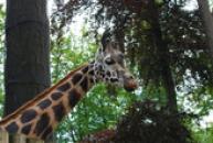 Pohled žirafy Rothschildovy.