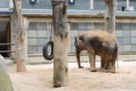 Slon bengálský.