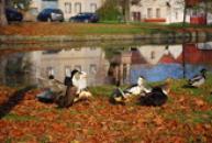 Spokojené kachny u rybníka...