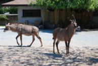 Antilopy koňské.