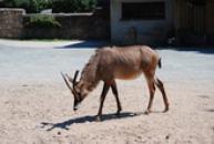 Antilopa koňská.