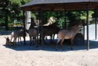 Stádo antilop koňských.