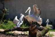 Pozdrav pelikánů kadeřavých.