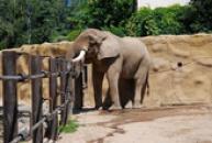 Slon africký.