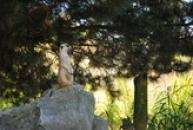 Hlídkující surikata.