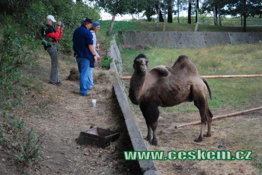 Na návštěvě u velblouda dvouhrbého...