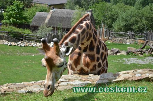 Žirafa v detailu.
