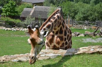 Jihlavská ZOO - Žirafa v detailu.
