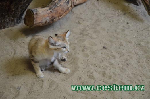 Mládě kočky pouštní.