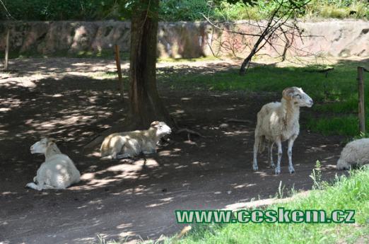 Výběh ovcí.