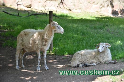 Ovce domácí.