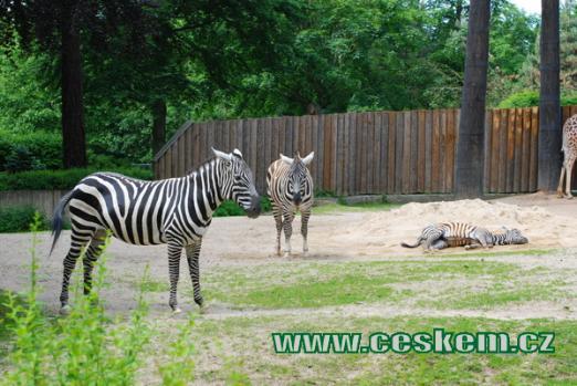Zebra bezhřívá.