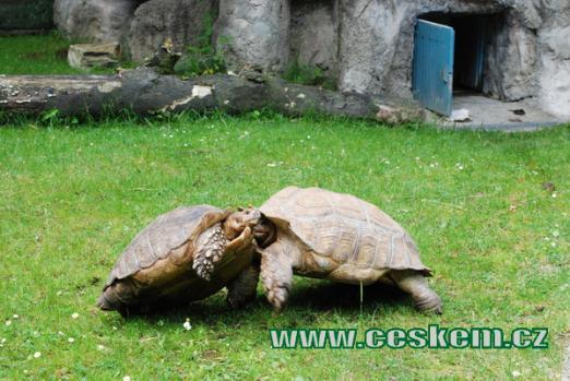 Dovádění želv ostrouhatých.