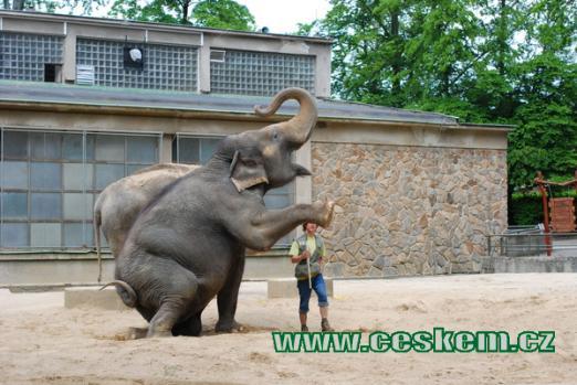 Drezúra slonů.