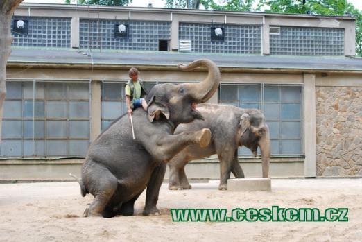 Ukázka drezury slonů.