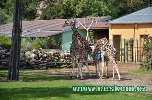 Žirafy Rothschildovy.