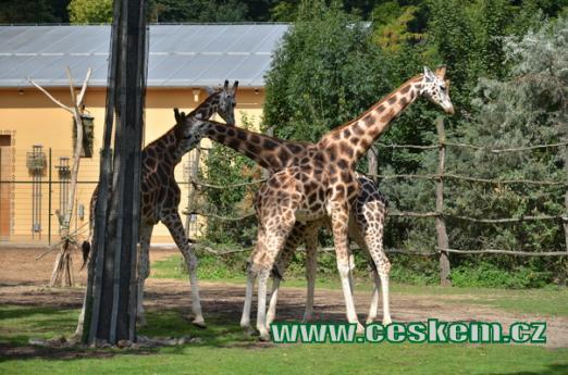 Žirafa Rothschildova.