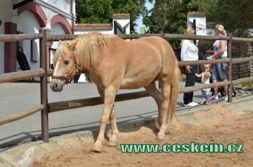 Kůň domácí.