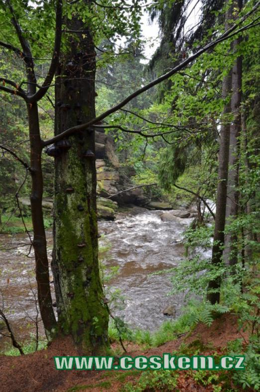 Les na břehu Divoké Orlice.
