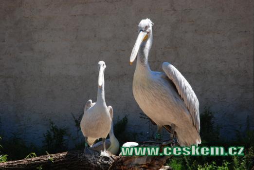 Přísný pohled pelikánů.